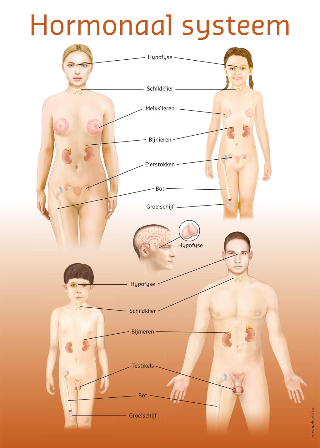 Hormonale stelsel - Poster